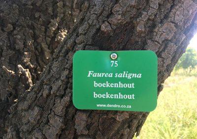 Schoongezigt-faurea-saligna-boekenhout